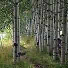 Aspens in Aspen, Colorado by saxonfenken
