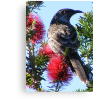 Wattle Bird on Bottle Brush.  Canvas Print