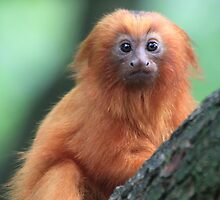 Golden Lion Tamarin (Leontopithecus rosalia) by DutchLumix