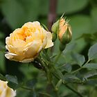 yellow rose by MICHAEL GAY