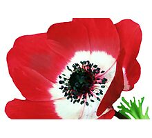 Red Poppy Photographic Print