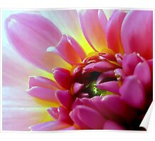 Pink Dahlia of Lovely Color Poster