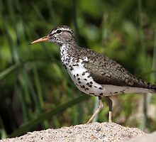Spotted On The Sand / Spotted Sandpiper by Gary Fairhead