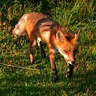 RED FOX by Larry Trupp