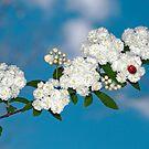 Ladybug on Bridal Wreathe by Bonnie T.  Barry