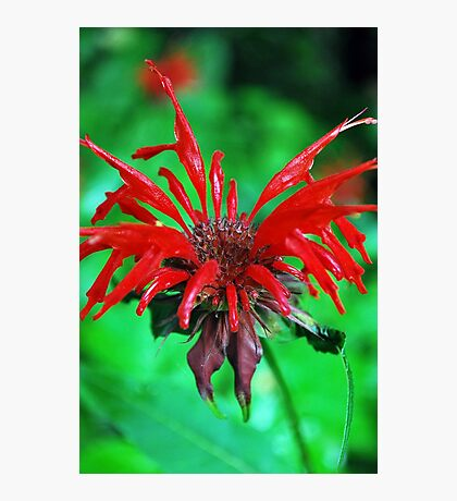 Red flower on Blue Ridge Parkway Photographic Print