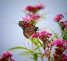Butterfly and Bloom  by KathyBerger