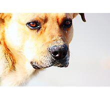 Close up of an beautiful sad yellow dog Photographic Print