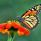 Monarch on a Mexican Sunflower by Larry Trupp