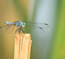 Blue Dasher by Chris Heising