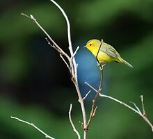 Wittle Wilson's Warbler by DJ LeMay