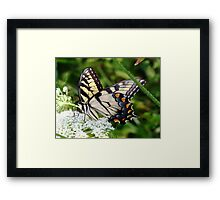 A male Eastern Tiger Swallowtail having lunch. Framed Print