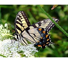 A male Eastern Tiger Swallowtail having lunch. Photographic Print