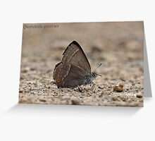 Purple Hairstreak butterfly Greeting Card