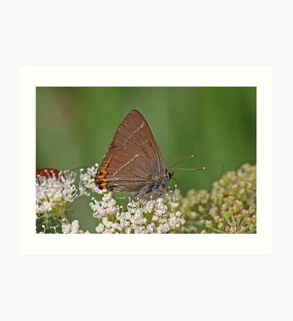 White Letter Hairstreak butterfly Art Print