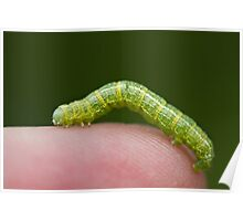Green Inch Worm on Human Finger Poster