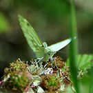 Green veined butterfly by Russell Couch