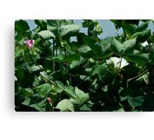 Cotton Blooms Canvas Print