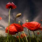 Poppies at twilight by Stevacek