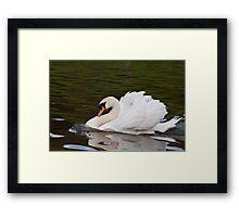 Grumps: Male Mute Swan Framed Print