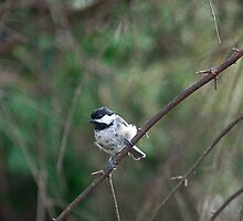 My Little Chickadee... by Mike Oxley
