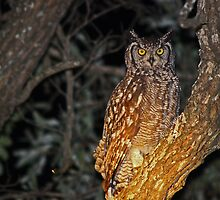 Spotted eagle owl by jozi1