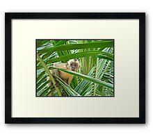 Monkey in Brazil  Framed Print