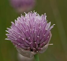 The Garden Chive's WIld Relative by Coniferous