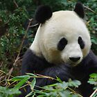 Panda Bear by Karen Checca