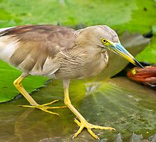 Pond Heron by Prasad