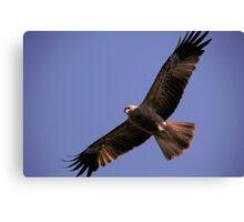 Wedge Tail Eagle Darwin Australia Canvas Print