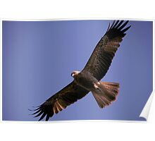 Wedge Tail Eagle Darwin Australia Poster