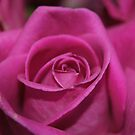 Rose by 2HPhotography