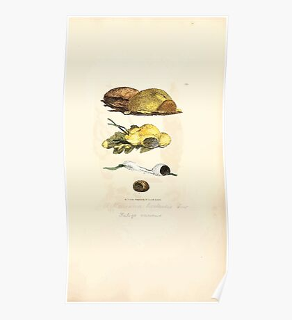 Coloured figures of English fungi or mushrooms James Sowerby 1809 1021 Poster