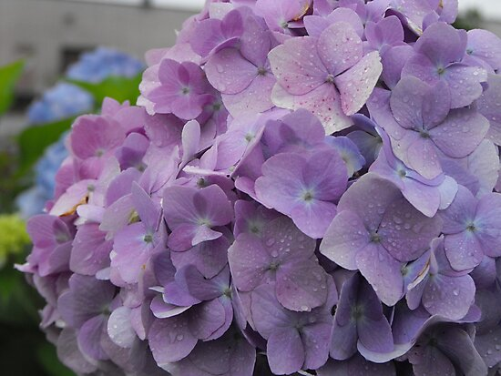 Hydrangea by endomental Artistry
