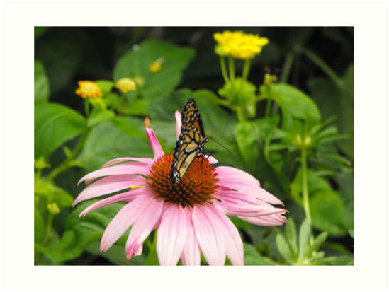 Monarch on pink flower by Erika Smith