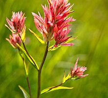 Indian Paintbrush by Claudia Kuhn