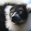 Black-and-white Ruffed Lemur by DutchLumix