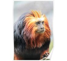 Golden Lion Tamarin (Leontopithecus chrysomelas) Poster