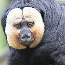 White-faced Saki (Male) by DutchLumix