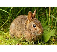 A Continental Rabbit Photographic Print
