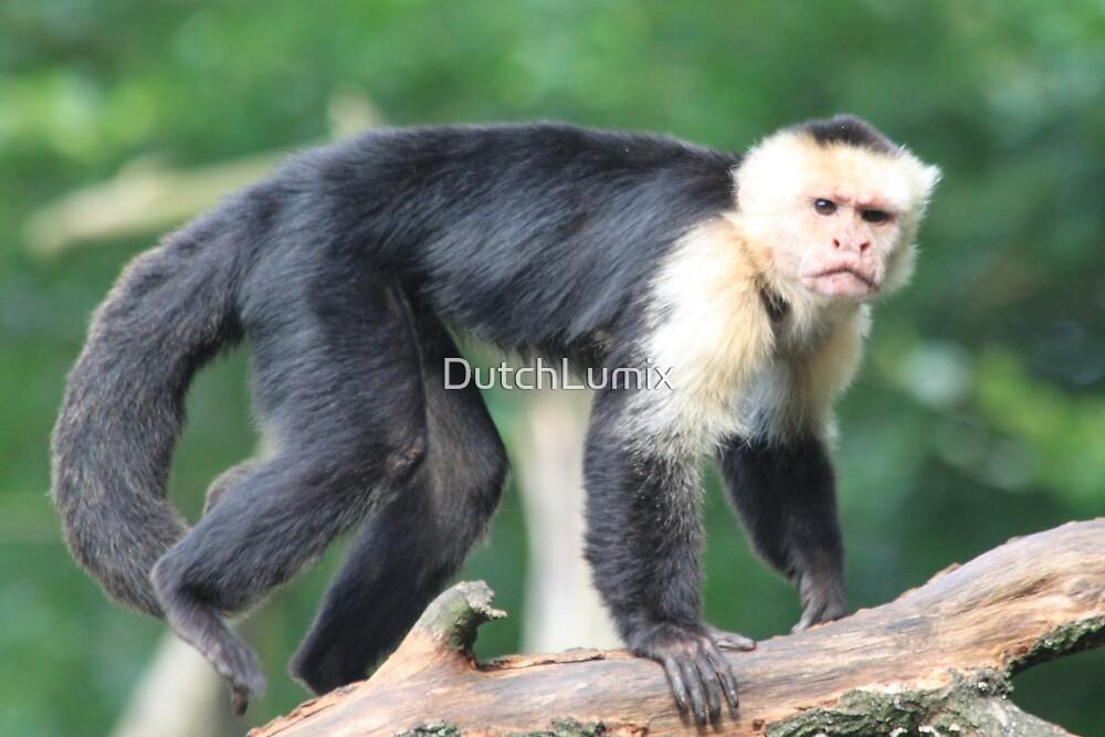 White-headed Capuchin by DutchLumix