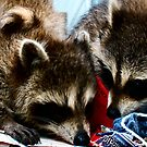 Baby Raccoons by AlGrover