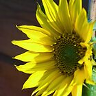 Sunflower in the garden by julie08