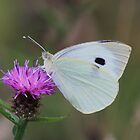Large White by Dave Godden