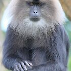 Lion-tailed Macaque by DutchLumix