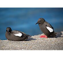 Guillemots  Photographic Print