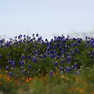 Bluebonnet Field by terrilynn