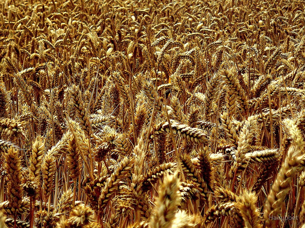 Harvest - Grantham by Hairypoet