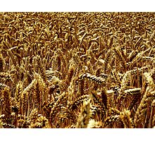 Harvest - Grantham Photographic Print